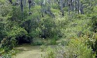 Dark thick swamp or marsh.