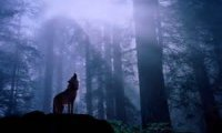 wandering alone throught the rainy forest with wolves